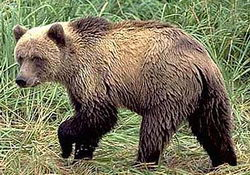 Научный доклад про бурого медведя 4928